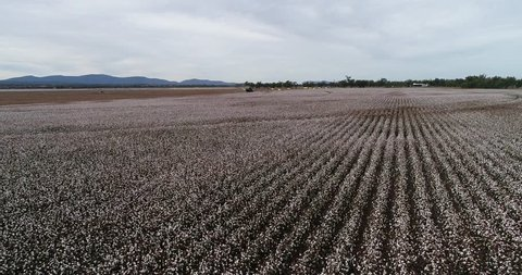 Straight rows of cotton plants with blossoming white boxes harvested by green industrial tractor under blue sky in elevated perspective view on a farm field in Australia.