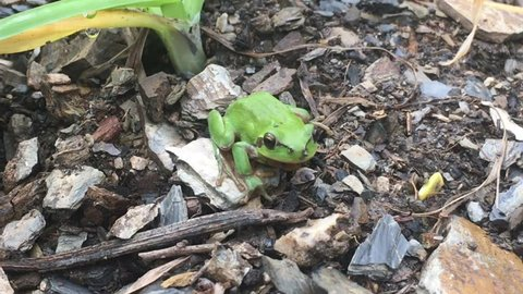 A green frog on the rough ground of a natural organic garden.