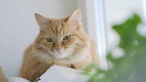 Cute ginger cat dozing on window sill near green leaves of indoor plant. Fluffy pet at home. Flat profile.