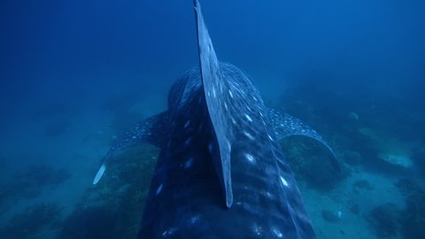 Close up of whale shark swims in the blue ocean over the corals. Rare view from behind the dorsal fin.