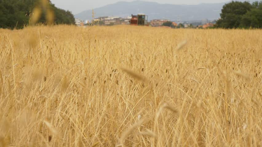 Thresher farming approaching in golden wheat field. Threshing machine in the background working in Italy. 05