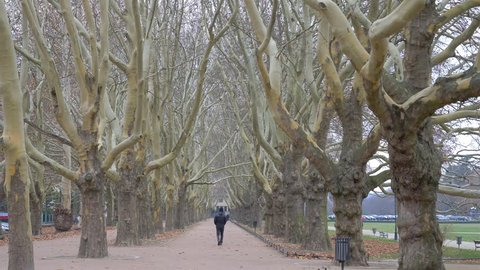 Jasne Blonia park, Szczecin city, Poland. Avenue of plane trees