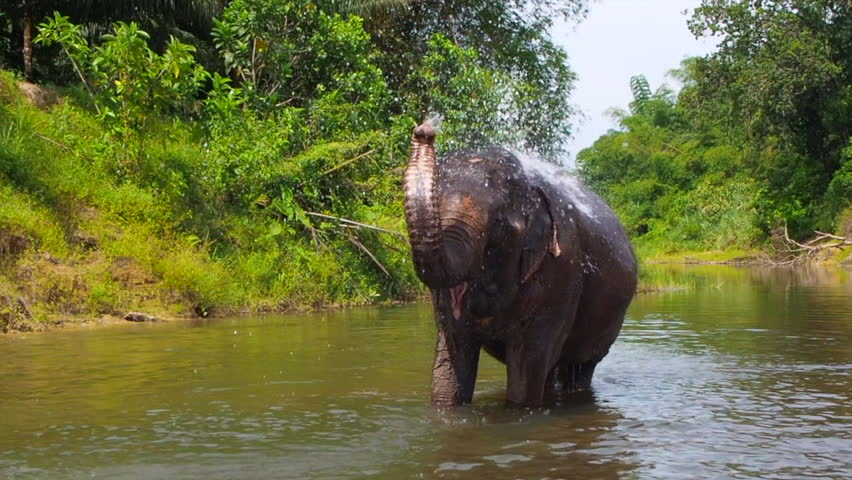 Asian Elephant Spraying Water in the River | Shutterstock HD Video #1028677784