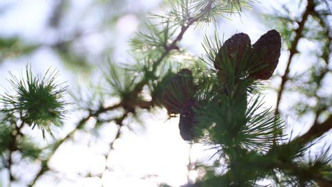 Cones of larch on branches in sunny rays. Branches with seed cones and needles on larch tree growing in forest. Larch cones with sunny bokeh. Coniferous tree in rays of evening sun