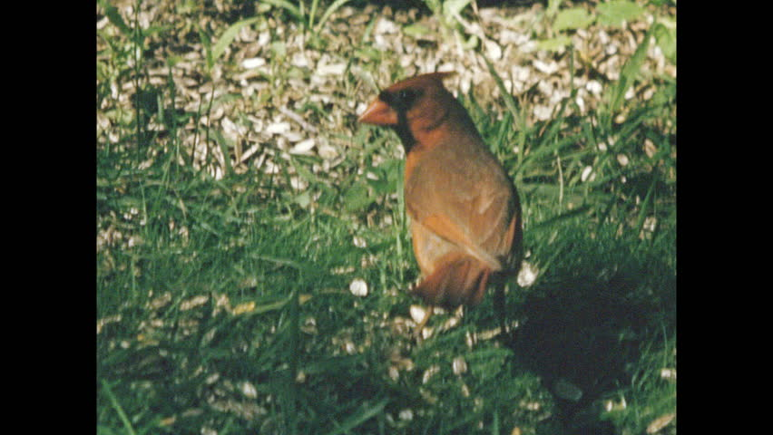 1960s: Cardinal hops on ground and picks at grass. Sparrow sits at birdfeeder and eats seeds. Titmouse sits at birdfeeder and eats seeds. Robin flies from log. Sparrows pick at grass.  | Shutterstock HD Video #1028912864