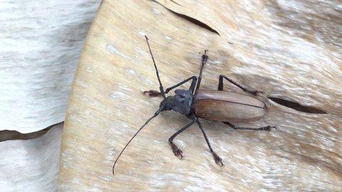 Giant Fijian longhorn beetle from island Koh Phangan, Thailand. Close up, macro. Giant Fijian long-horned beetle, Xixuthrus heros is one of largest living insect species.Large tropical beetle species