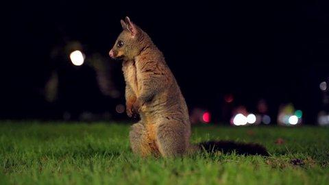 Cute possum at night in a urban park
