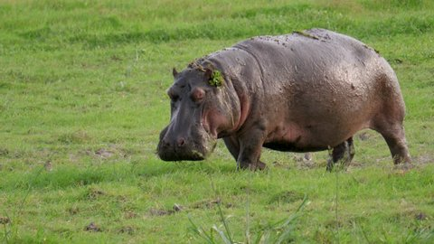 African adult and large hippo defecates on the grassland Savannah, urination and poop under pressure, funny sprinkles excrement on small birds that fly in different directions.