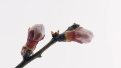 Spring flowers opening. Beautiful Spring Apricot tree blossom open timelapse, extreme close up. Time lapse of Easter fresh pink blossoming apricot closeup. Blooming backdrop on white 4K UHD video