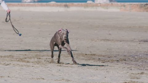 The dog Weimaraner runs happy on the beach in slow motion - 180 fps