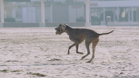 The dog weimaraner runs happy on the beach in slow motion -180 fps