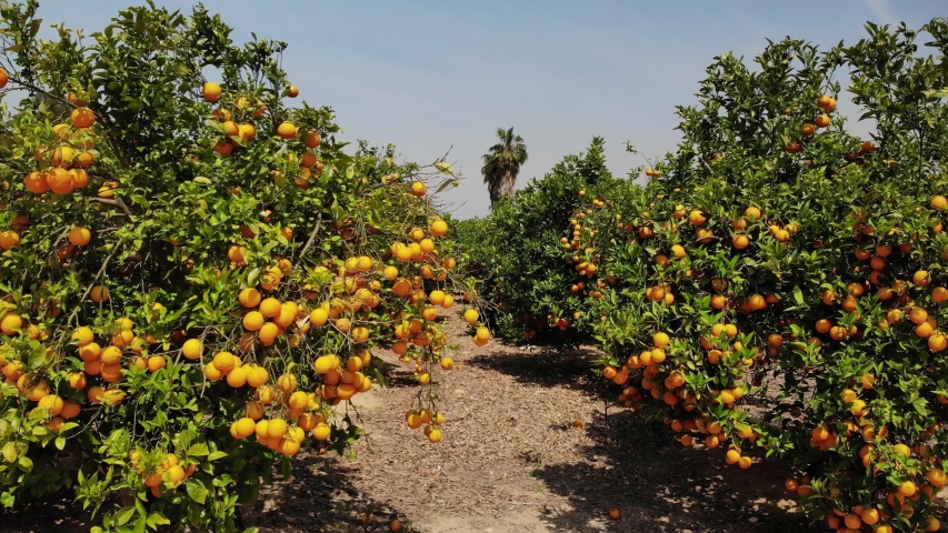 A spanish orange grove. The drone turns slowly close to tree height horizontally around an orange tree with many fruits in a blue sky with sunshine. | Shutterstock HD Video #1029378314
