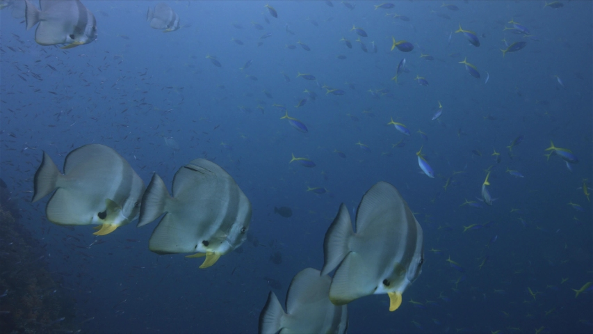 Spadefish on a colorful healthy coral reef. South Raja Ampat dive site Magic mountain 4k footage   Shutterstock HD Video #1029511274
