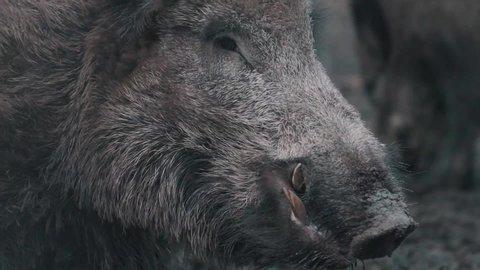 Wild boar growling in Close-Up - Slowmotion