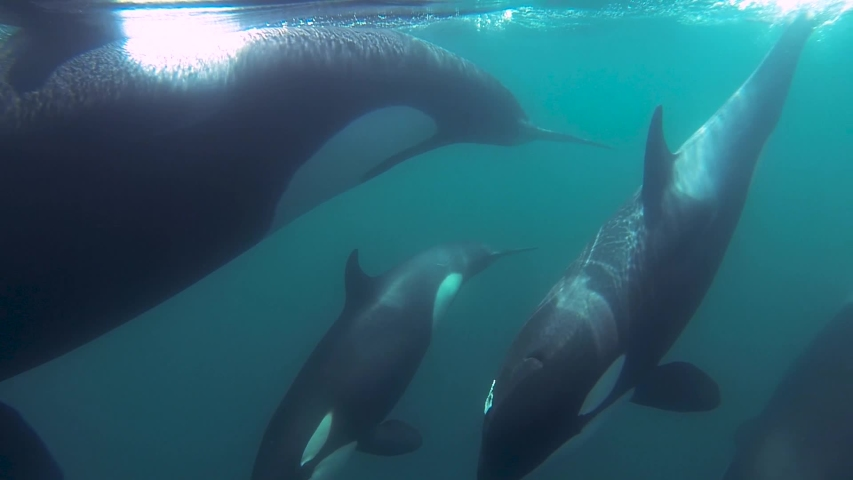 Group of Orcas killer whales swimming together close to the surface mirror effect slowmotion   Shutterstock HD Video #1029650384