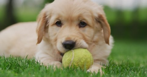 Slow motion of a beautiful puppy of Golden Retriever dog with a pedigree is playing with a tennis ball and looking in camera.