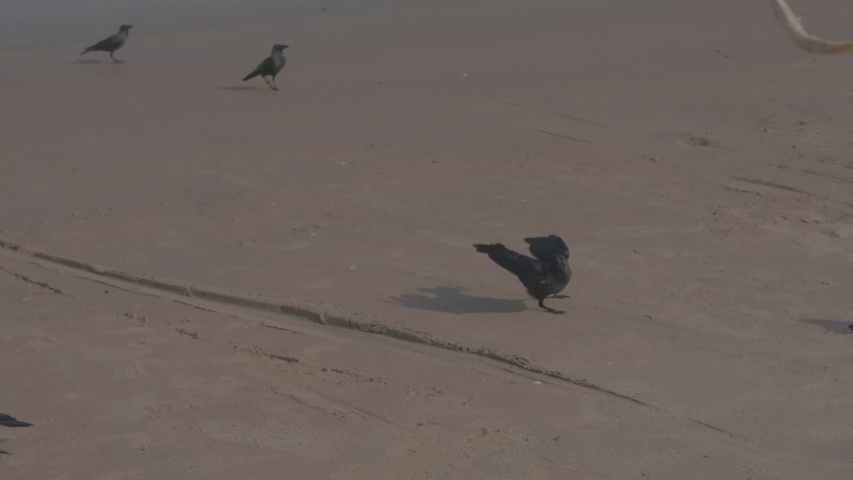 Slow motion of the house crow Indian grey necked ceylon on a beach in India jumping around catching fish being thrown into the air | Shutterstock HD Video #1029697934
