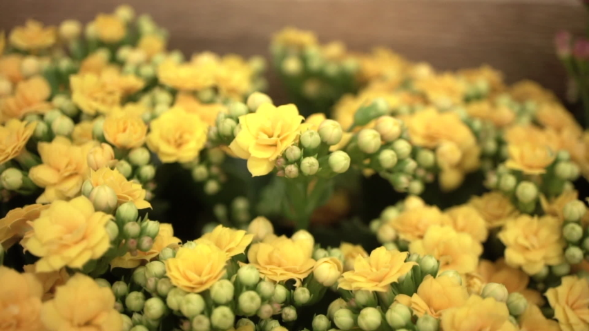 Blooming yellow and orange kalanchoe plants with flower buds, Macro