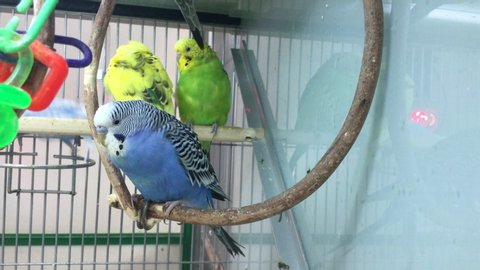 Colored parrots Melopsittacus undulatus on a perch. Poultry parakeets in a cage.