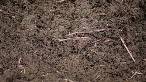 The earthworm is an invertebrate, with a torso  found in soil, under leaves  or under manure is an animal that has 2 sexes in the same body have both  reproductive and non-sexual reproduction