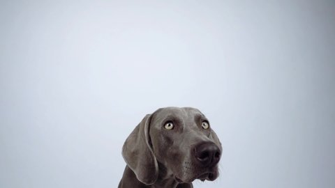 Lockdown shot of Weimaraner catching food against white background