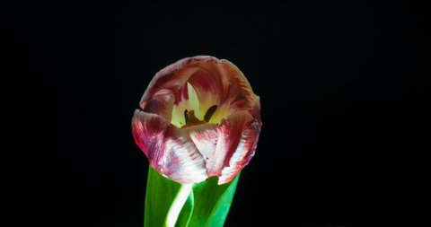 Timelapse of red tulip flower blooming on black background,