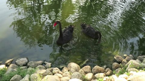 The two beautiful black swans in the pond