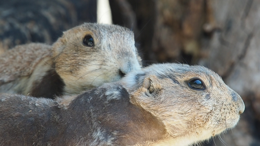 Prairie dog are looking somewhere, keeping his eye  | Shutterstock HD Video #1030027424
