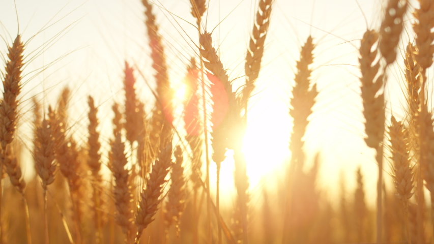 close up golden sun rising behind yellow wheat field in idyllic countryside  #1030045004