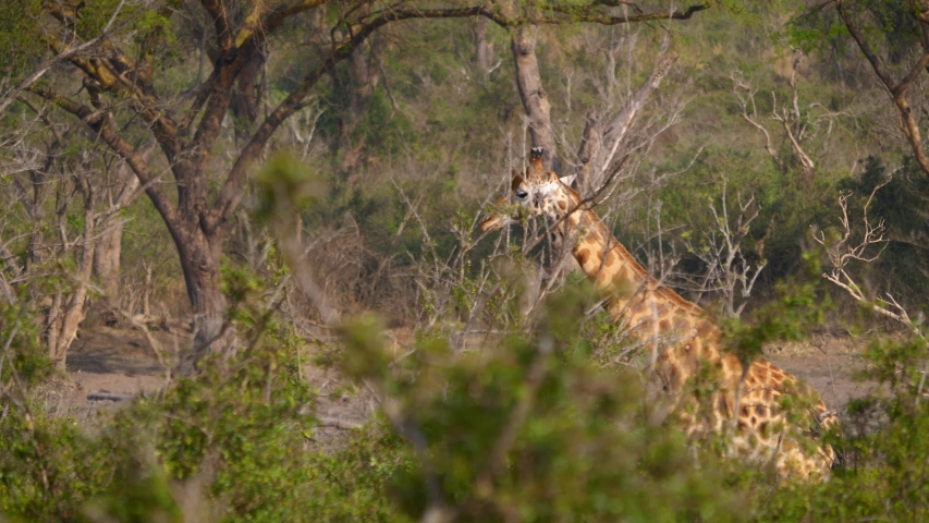 The giraffe goes hiding behind a bush. Wildlife and animals in Africa | Shutterstock HD Video #1030048154