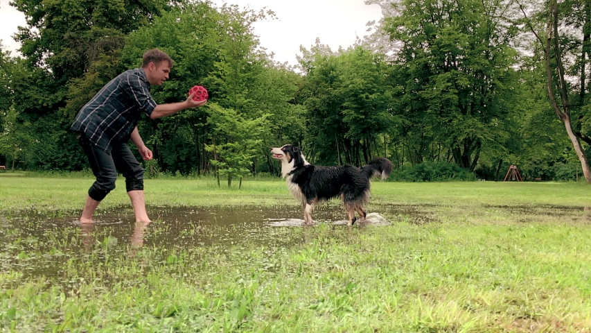 Slow Motion. Australian Shepherd Dog with owner playing on green grass at park. Happy barefoot Man and wet Aussie run on watery meadow after rain, water sprinkles. Dog and people enjoy at outdoors.   Shutterstock HD Video #1030075334