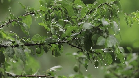 Plum tree in the garden while it is rainy. The fruits of the tree are still green.