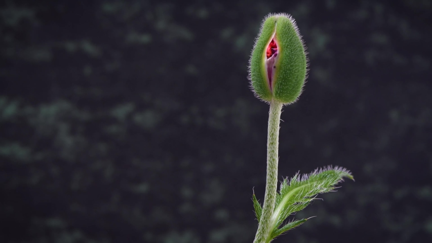 nearly closed poppy bud turned 360 degrees, view from all sides