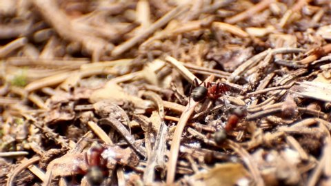 Close-up of a European red wood ants (Formica rufa).