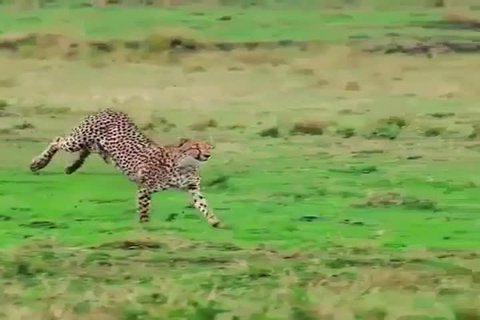 TANZANIA,NGORONGORO CRATER NATIONAL PARK, MARCH 15,2018,The leopard running high speed in purpose of catching antelope, this hunt don't succeed well.He runs 88.5 kilometres per hour or 50 miles per hr