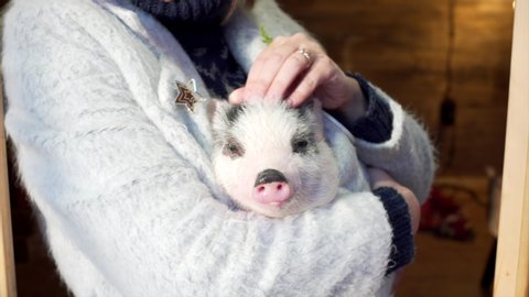 Unidentified woman is holding a cute piglet having a nap and stroking it