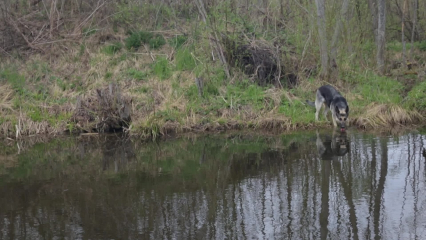 Dog drinking water in lake in forest, cloudy weather   Shutterstock HD Video #1030215434