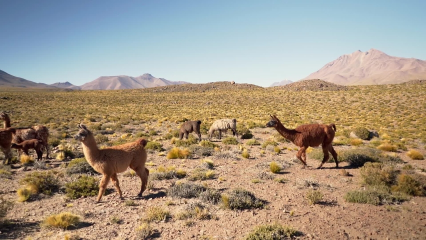 Slow motion group of beautiful Llamas in the highlands of Atacama Desert, Chile, South America | Shutterstock HD Video #1030393784