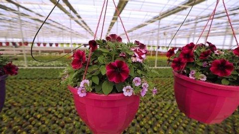 Red and pink petunia in a pot, petunia in a pot in a large bright greenhouse. Blooming petunia close up