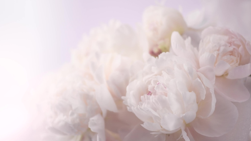 Beautiful pink peony bouquet open on white background. Time lapse of Blooming peony or roses flowers opening close-up. Wedding backdrop, Valentine's Day concept. Birthday bunch. Flower closeup. 4K UHD