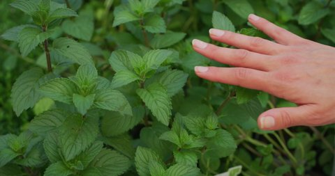 Slow motion of young woman gardener hand close up is touching gently fresh mint plants in a greenhouse in a sunny day.