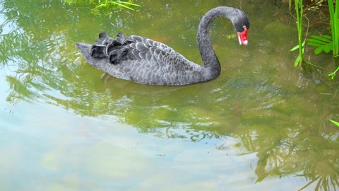 A black swan foraging by the lake
