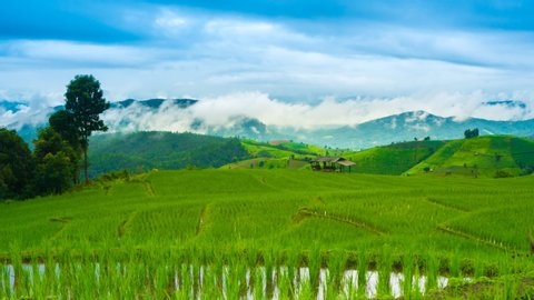 Rice terrace seedlings Time-lapse wide angle view in the field with water from nature around mountain ,at Ban Pa Bong Piang Hill tribe village, Chiangmai, Thailand. ZO, Zoom out.