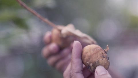 Asian women hand is examining the dried lemon fruit due to disease caused by lemon trees.
