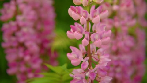 Lupinus, lupin, lupine field with pink  flowers. Pink lupines flowers.  Bunch of lupines summer flower background