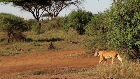 A Lioness Walking Across a Dirt Road in the Serengeti in Africa, Slow Motion