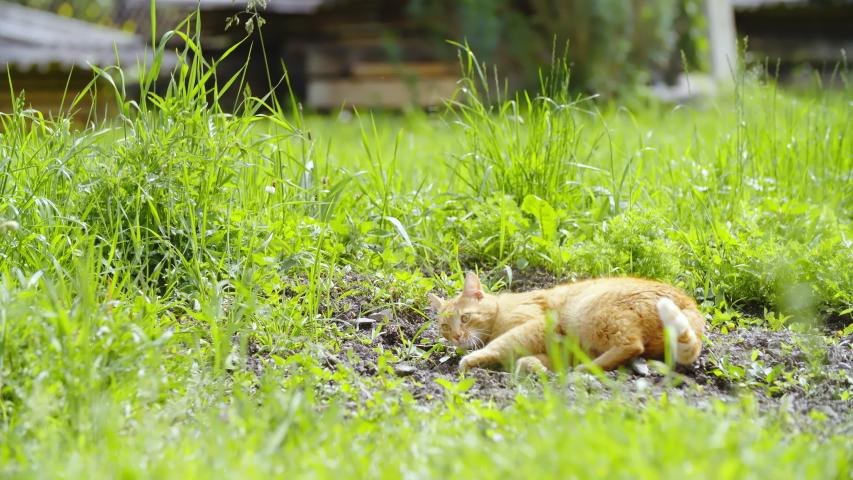 Ginger cat lying inside the dirt 4K | Shutterstock HD Video #1031108594
