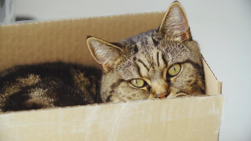 Cat peeking from inside the box 4K | Shutterstock HD Video #1031108624