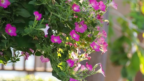 Pink salmon petunia flower with sunrise. Pink petunias swaying in the breeze. Pink petunia garden flowers closeup being blown in the wind with a green foliage. Pink petunia flower garden.