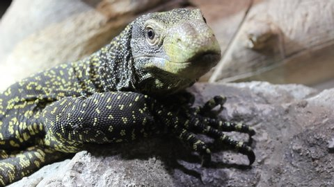 Crocodile monitor lizard (Varanus salvadorii) portrait